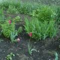 Тюльпаны (рисование)