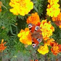 Проект «Мир бабочек» в старшей разновозрастной группе