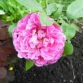 Обожаемые цветы, розы. Фотозарисовка.