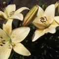 Лилия— часть живой природы (фоторепортаж)