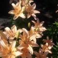 Фоторепортаж «Лилии— цветы нашего сада» (2 часть)