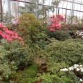 В Ботаническом саду имени Петра Великого в Санкт-Петербурге зацвели азалии (фоторепортаж)