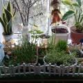 Фотоотчёт «Огород на окошке» (подготовительная группа)