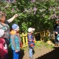 Прогулка «Наблюдение за цветущей сиренью»