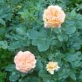 Фотозарисовка «Роза царица сада»