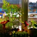 Фотоотчет «А у нас зацвел горох!». Огород на окне