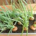 Мы вырастили зеленый лук. Фотоотчёт