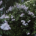 «Хороши весной в саду цветочки»