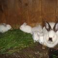 Семейный экологический проект «Маша и кролики»