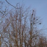 Конспект зимней прогулки «Наблюдение за сорокой»
