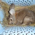 Наблюдение за кроликом в младшей разновозрастной группе