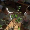 Экологический мини-проект в младшей группе «Наблюдение за веткой сирени»