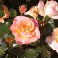 Розы цветут… Красота, красота… Фотозарисовка