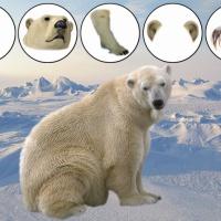 Карточки для работы над образованием притяжательных прилагательных по теме «Животные Севера»