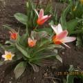 Фотозарисовка «Тюльпаны»