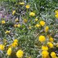Фотоотчёт о проведении летнего проекта на тему «Этот волшебный цветок-одуванчик»