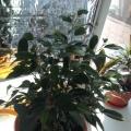 Мое увлечение-комнатные цветы. (Фотозарисовка)