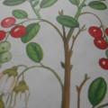 Конспект НОД по рисованию ватными палочками во второй младшей группе «Зеленые и спелые ягоды»
