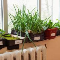 Фотоотчет «Огород на подоконнике» в группе детского сада