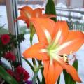 Мои комнатные цветущие друзья (часть вторая)-фоторепортаж