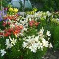 Лилий многоцветье (фотозарисовка)