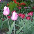 Мой тюльпановый мир— фотозарисовка