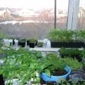 Мой огород на подоконнике-фотозарисовка