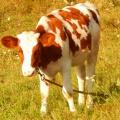 Конспект прогулки «Наблюдение за домашними животными»