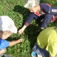 Конспект прогулки «Наблюдение за лекарственными растениями: подорожником и пижмой»