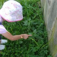 Конспект прогулки «Наблюдение за лекарственным растением— крапивой»