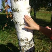 Формирование экологических знаний. Конспект познавательной прогулки «Наблюдение за березами осенью»