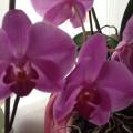 Мои орхидеи (фоторепортаж)