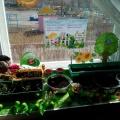 Фотоотчет «Наш огород на окне»