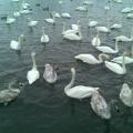 Фоторепортаж «Лебединое озеро в Алтайском крае»