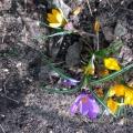 Конспект прогулки в младше-средней группе «Наблюдение за весенними цветами на клумбе»