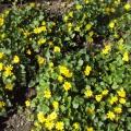 Конспект прогулки— наблюдения в подготовительной группе на тему: «Первоцветы»