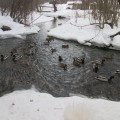 Воскресная прогулка с родителями в рамках педагогического проекта «Наш пруд» «Покормим уток зимой!»