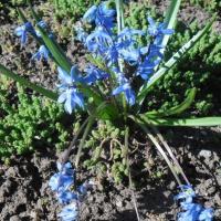 Фотоотчёт о прогулке «Наблюдение за первоцветами»