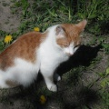 Фотоотчет о наблюдении за кошкой на прогулке (старшая группа)
