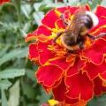 Конспект прогулки в подготовительной группе «Наблюдение за пчелами»