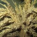 «Талган-талганах». Создание хакасского блюда из пшеницы под названием «талган»