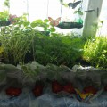«Огород на подоконнике» (фотоотчет)