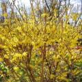 Наблюдения за цветущими кустарниками весной