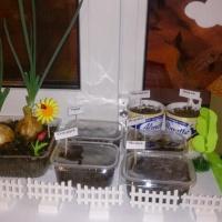 Краткосрочный познавательно-исследовательский проект «Огород на окне»