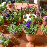 Фотозарисовка «Мое увлечение— выращивание цветов»