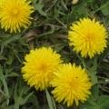 Стихотворение для детей «Одуванчик жёлтенький»