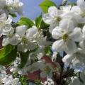 Яблони в цвету— весны творенье, яблони в цвету— какое чудо!